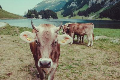 Appenzell06,Wandern, Landschaft, Berge, Kuh