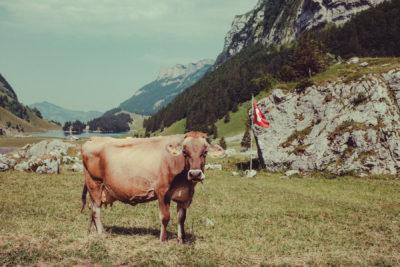 Appenzell07,Wandern, Landschaft, Berge,Kuh